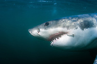 great white shark, Carcharodon carcharias., with fishing hook, False Bay, South Africa