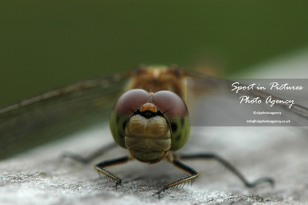 A Common Darter Dragonfly on a fence