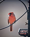 Northern Cardinal. Image taken with a Nikon D5 camera and 600 mm f/4 VR lens (ISO 360, 600 mm, f/4, 1/1250 sec).