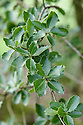 Holly-like leaves of Kermes oak (Quercus coccifera), late March.