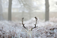 Photographer: Rick Findler<br /> <br /> 12.12.12. Deer this morning in a very foggy and frosty Richmond Park, Surrey. Extensive fog has caused trouble on roads and airports, including 80 cancellations at Heathrow Airport.
