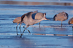 Sandhill Crane Running on the Ice Morning Takeoff Bosque del Apache Wildlife Refuge New Mexico