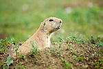 Prairie Dog at Theodore Roosevelt National Park, ND.