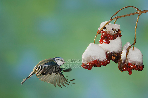 Blue Tit, Parus caeruleus, adult in flight toward berries of European cranberry bush (Viburnum opulus) with snow, Oberaegeri, Switzerland, Dezember 2005