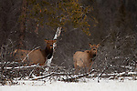 Two female elk gather near the edge of the forest in winter in Banff National Park, Alberta Canada.