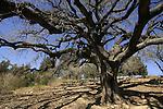 Israel, Jezreel Valley, Mount Tabor Oak (Quercus Ithaburensis) tree in Mishmar Haemek .
