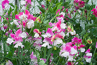 Lathyrus odoratus Sweet pea 'Promise' pink and white flowers, new variety