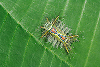 Saddleback moth, Acharia sp., poisonous caterpillar on leaf, Manuel Antonio National Park, Central Pacific Coast, Costa Rica, Central America
