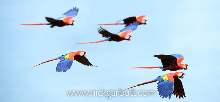Scarlet Macaws (Ara macao) in flight over the sea (Golfo Dulce). Osa Peninsula (near Corcovado National Park), Costa Rica, Central America.