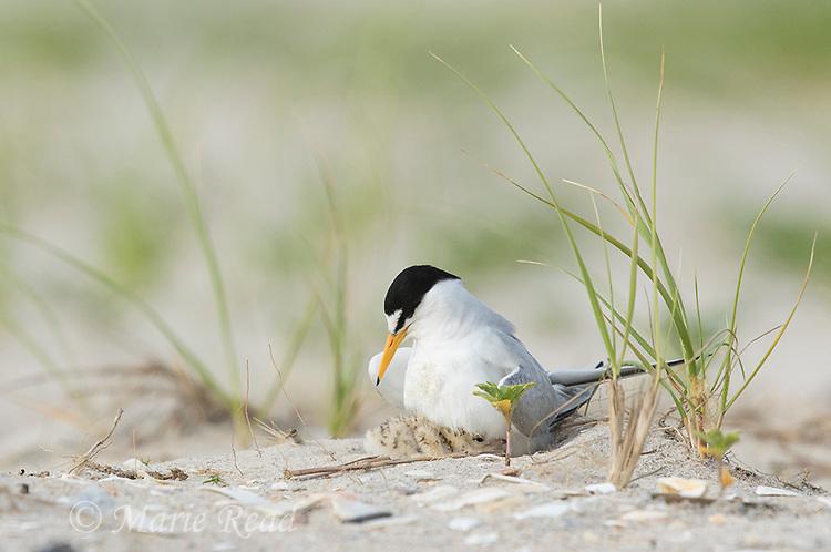 Least Tern (Sterna antillarum) adult brooding chick, Nickerson Beach, Long Island, New York, USA