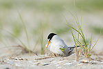 Least Tern (Sterna antillarum) adult brooding chick, Nickerson Beach, Long Island, New York, USA