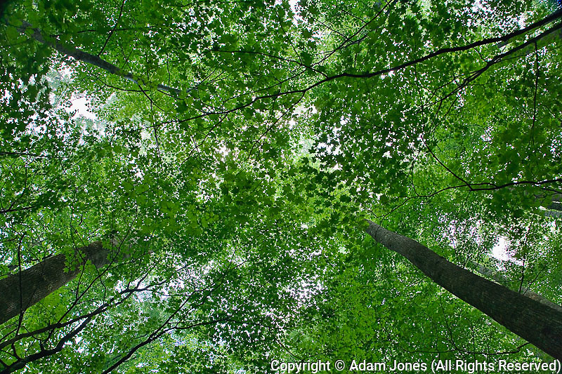 Skyward view of forest canopy, Great Smoky Mountains Natioanl Park, Tennessee