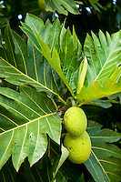 The breadfruit (ulu) is part of the traditional Hawaiian diet.