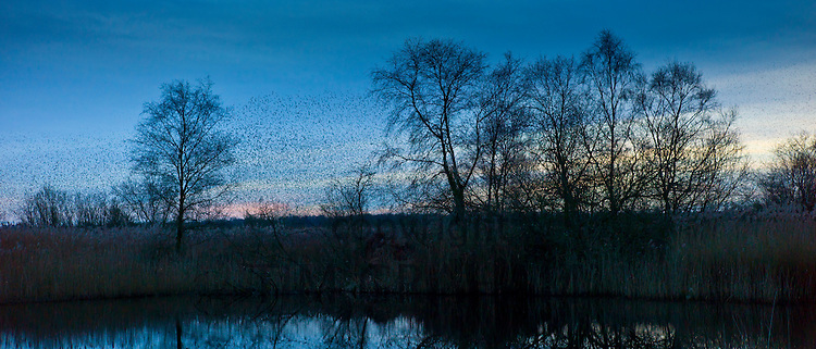 Starlings, a murmuration of a million birds gather to roost on Avalon Marshes at  in Somerset Levels, UK