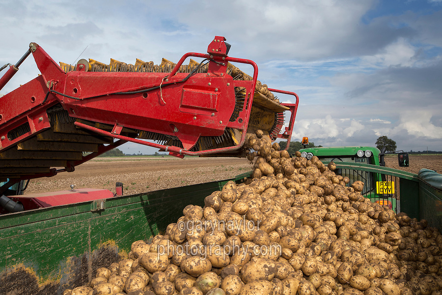 Loading Marfona potatoes into a 14 tonne root trailer - August, Lincolnshire