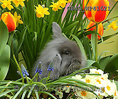 Kim, EASTER, OSTERN, PASCUA, photos,+Young rabbit among Spring flowers.,++++,GBJBWP41621,#e#
