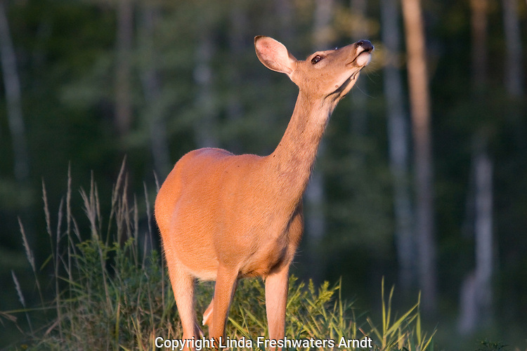 White-tailed (Odocoileus virginianus) picking up a scent in the wind.  Summer.  Winter, WI.