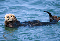 A white faced, mature sea otter, Enhydra lutris nereis, @ Moss Landing in the Monterey Bay National Marine Sanctuary, stares curiously as he rolls over while still keeping his face and paws dry.
