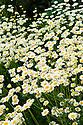 Feverfew (Tanacetum parthenium), mid June.