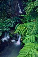 Hapu'u tree ferns<br /> Akaka Falls State Park<br /> Hamakua Coast<br /> Island of Hawaii,  Hawaii