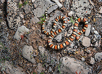 Pale Milksnake - Lampropeltis triangulum multistriata - A tough snake to find in Montana and I didn't think I had much of a chance of seeing it. Flipping a rock and finding this beautiful serpent coiled right next to a prairie rattlesnake was quite a pleasant surprise.