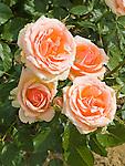 Fragrant Apricot Rose, Rosa hybrid, floribunda