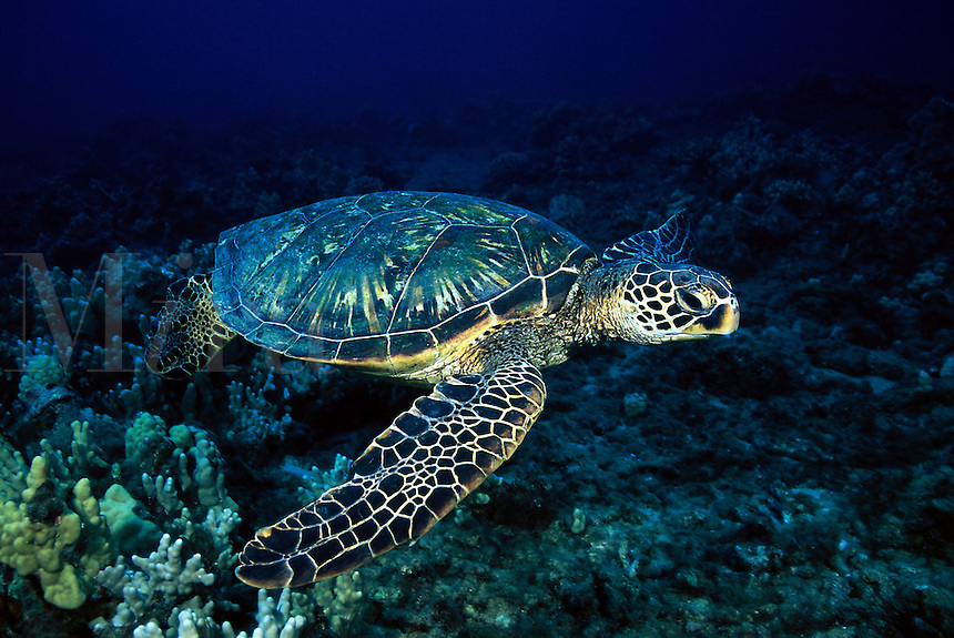 A female green sea turtle, Chelonia mydas, gliding over a Hawaiian reef. Hawaii.<br />