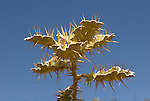 Spikey leaf, Simien Mountains National Park, Ethiopia, spikes, thorns, blue sky background.Africa....