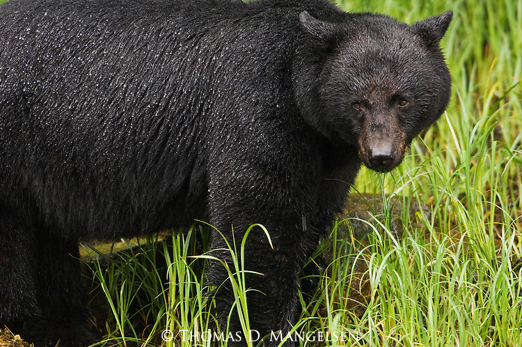 A black bear stands in the green grass at Knight Inlet in British Columbia, Canada.