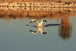 FB-S185.   4x6 postcard back small photo.  White pelican.   Crop in on birds.  No land.