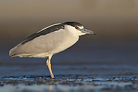 Black-crowned Night Heron - Nycticorax nycticorax - Adult