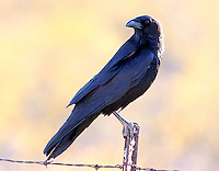 Adult chihuahuan raven on fence post