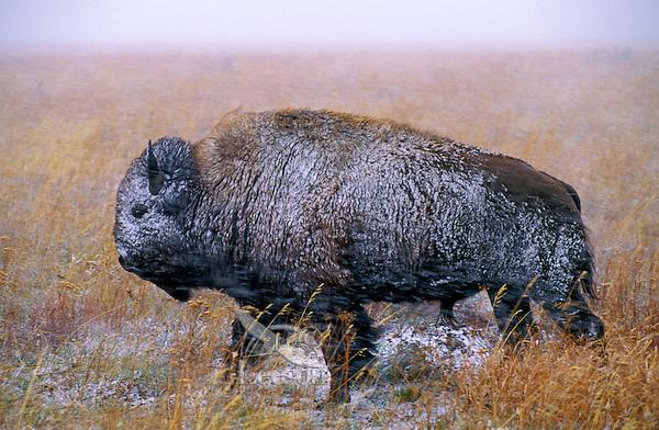 PLAINS BISON in autumn snowstorm..Grand Teton National Park, Wyoming..U.S.A. (Bison bison).