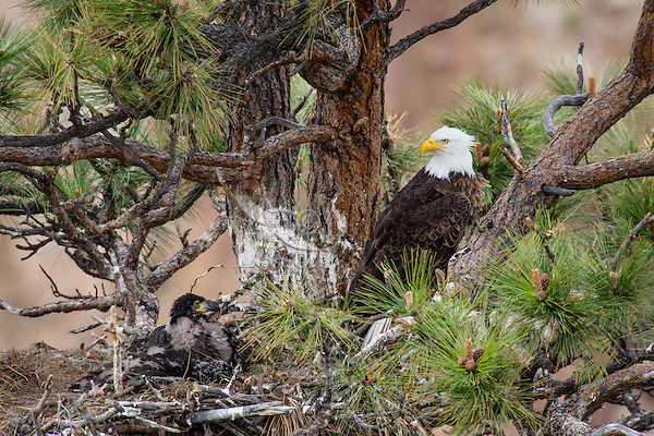 Bald Eagle Nest (Haliaeetus leucocephalus)--adult watching over 5 to 6 week old eaglets in tall ponderosa pine tree.  Oregon.  May.