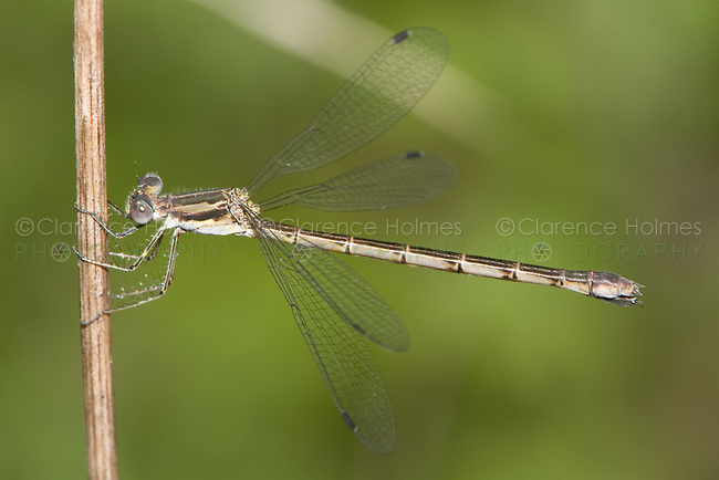Sweetflag Spreadwing (Lestes forcipatus) Damselfly - Female, Cranberry Lake Preserve, Westchester County, New York