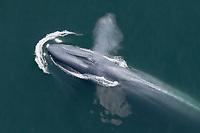 blue whale, Balaenoptera musculus, blowing, spouting, surfacing, endangered species, San Diego, California, USA, Pacific Ocean