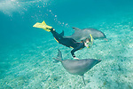 Grand Bahama Island, The Bahamas; a woman snorkling with two Common Bottlenose Dolphins (Tursiops truncatus) underwater