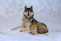 Siberian Husky dog, Lapland,