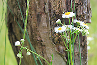 Stock photo of Fleabane daisy with a tree bark in the background at cades cove, the great smoky mountains national park, America.