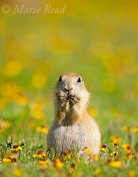 Black-tailed Prairie Dog (Cynomys ludovicianus), young animal feeding amid a carpet of yellow sneezeweed flowers, Wichita Mountains National Wildlife Refuge, Oklahoma, USA.<br /> (vertical version)