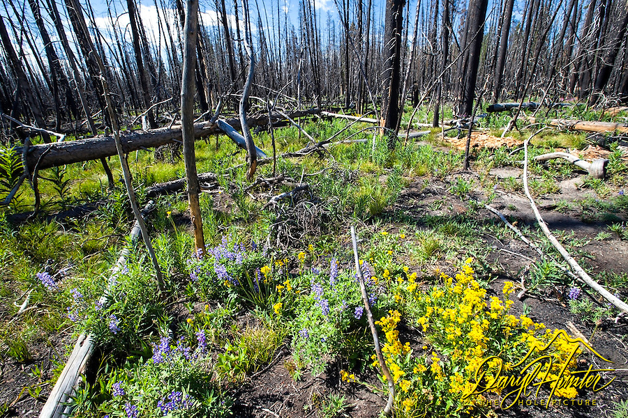 Burnt forest, wildflowers, Yellowstone. Fire is good, this forest is well on its way to rebirth.  When I forest full of beetle killed trees burns it opens up the sky to grow wildflowers and other food for the animals.  About fifteen year, new trees again cast shadow upon the forest floor and the wildflowers and other animal forage dies.