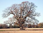 Large oak tree in winter standing in field, Sutton, Suffolk, England