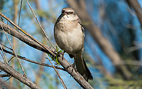 Northern Mockingbird, Mimus polyglottos, in the Riparian Preserve at Water Ranch, Gilbert, Arizona