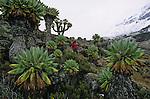 ..D étranges silhouettes accrochant la brume  se dressent a l entree de la vallee de Barranco. Les senecons aux allures de choux montes trop vite sont les stars vegetales du Kilimandjaro. Lointains cousins equatoriaux de nos pissenlits et paquerettes (tous appartiennent a la famille des composees), ils sont devenus geants pour arriver à supporter la secheresse et le froid des hautes altitudes.