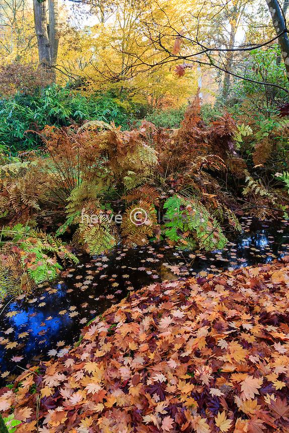 France, Allier (03), Villeneuve-sur-Allier, Arboretum de Balaine en automne, petit canal bordée de fougères royales, (Osmunda regalis) et tapis de feuilles d'érable du Japon à feuilles de vigne , (Acer japonica 'Vitifolium')