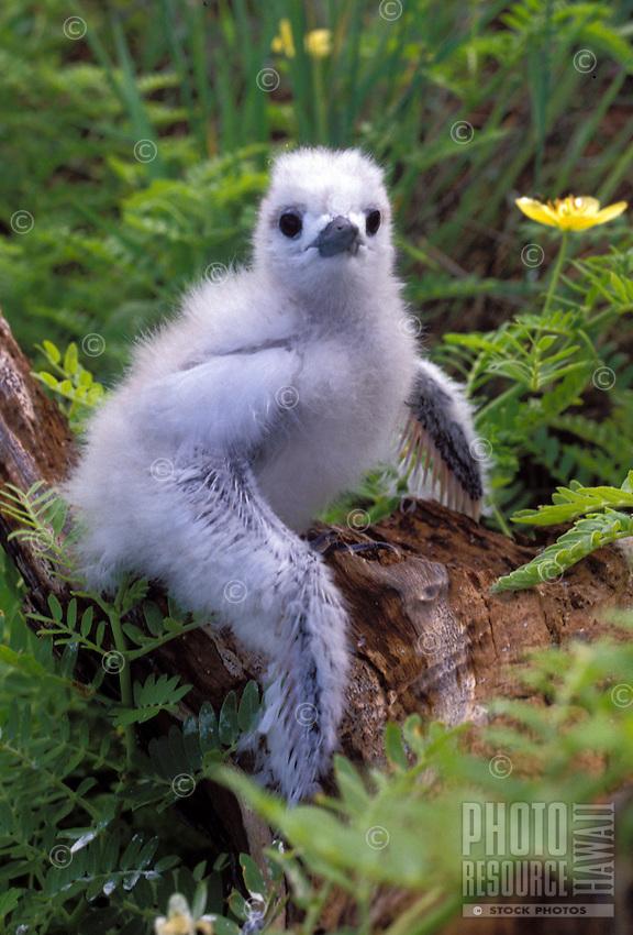 Fairy Tern chick, Christmas I. Kiribati.