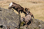 Bighorn sheep rams head-butting during the rut.  Western Montana.