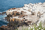 La Jolla Cove, La Jolla, California; California Sea Lions (Zalophus californianus), Brown Pelicans and Cormorants on the rocky shoreline at La Jolla Cove