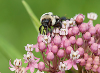 Bumble bee; Bombus; on swamp milkweed; PA, Philadelphia, Morris Arboretum