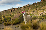Llama (Lama glama) in dry puna, Abra Granada, Andes, northwestern Argentina